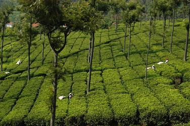 Coonoor Tea Plantation