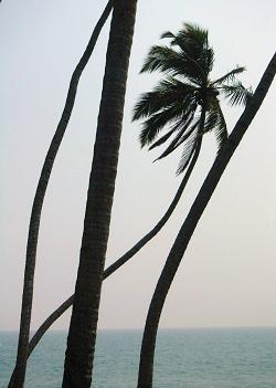 Palm Trees Kerala