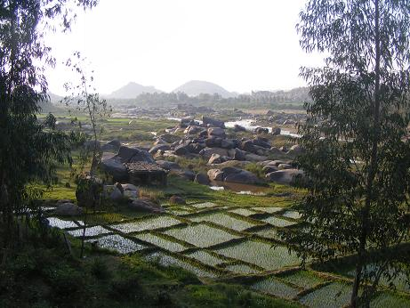 humpi rice paddy picture