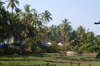 Siolim fields