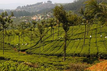 Highfields Tea Plantation, Coonoor