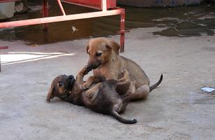 Puppies in Hampi