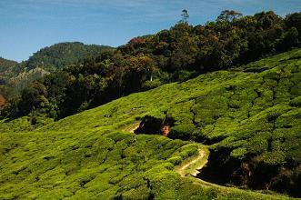 Tea In Munnar